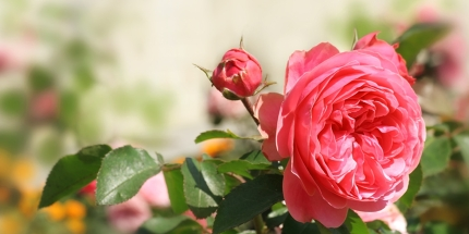 Rose Festivals Around the World
